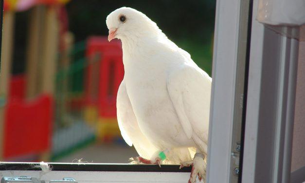 Белый голубь после трагедии
