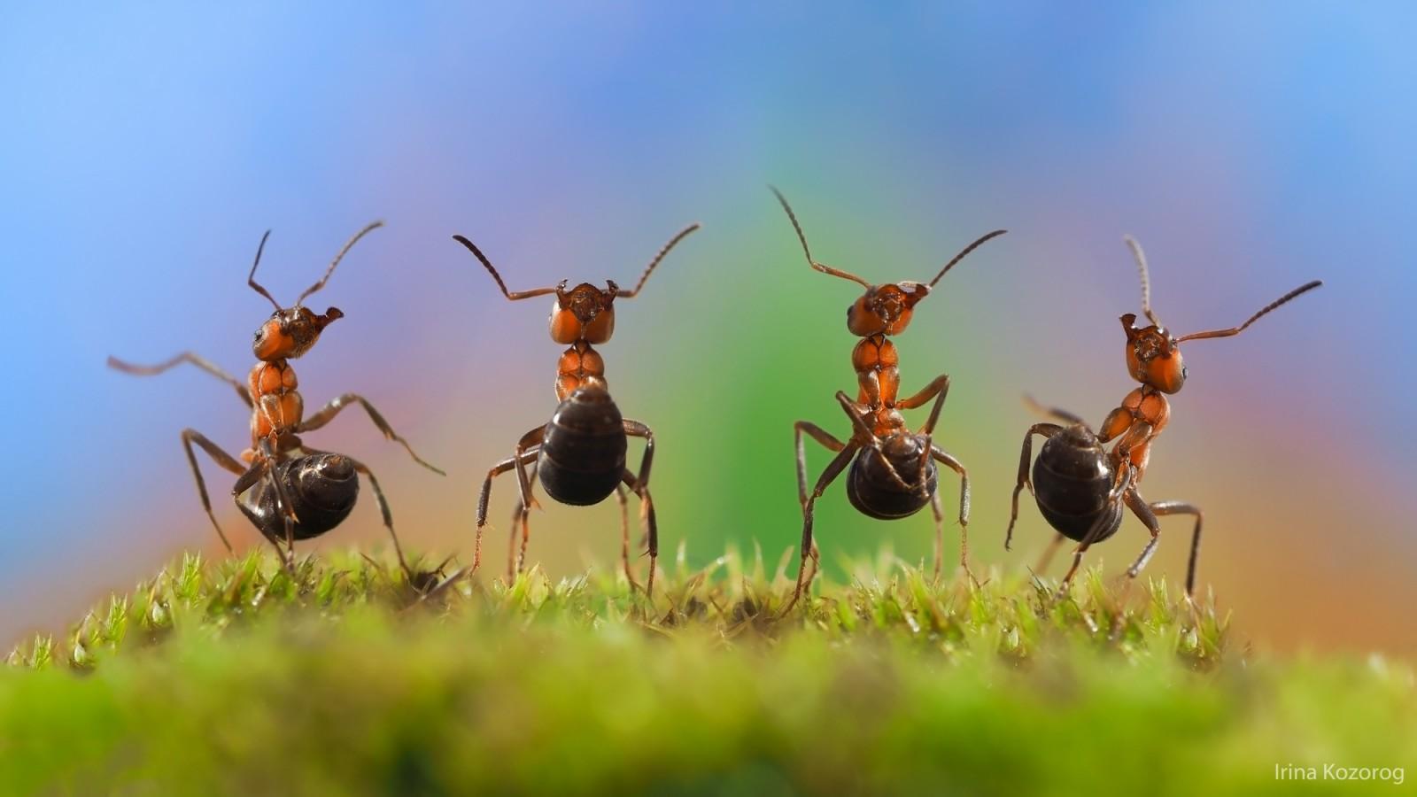 Радующиеся муравьи